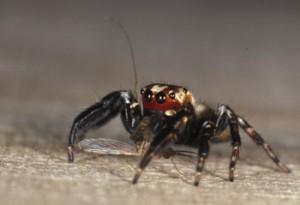 Jumping Spider (Evarcha culicivora)